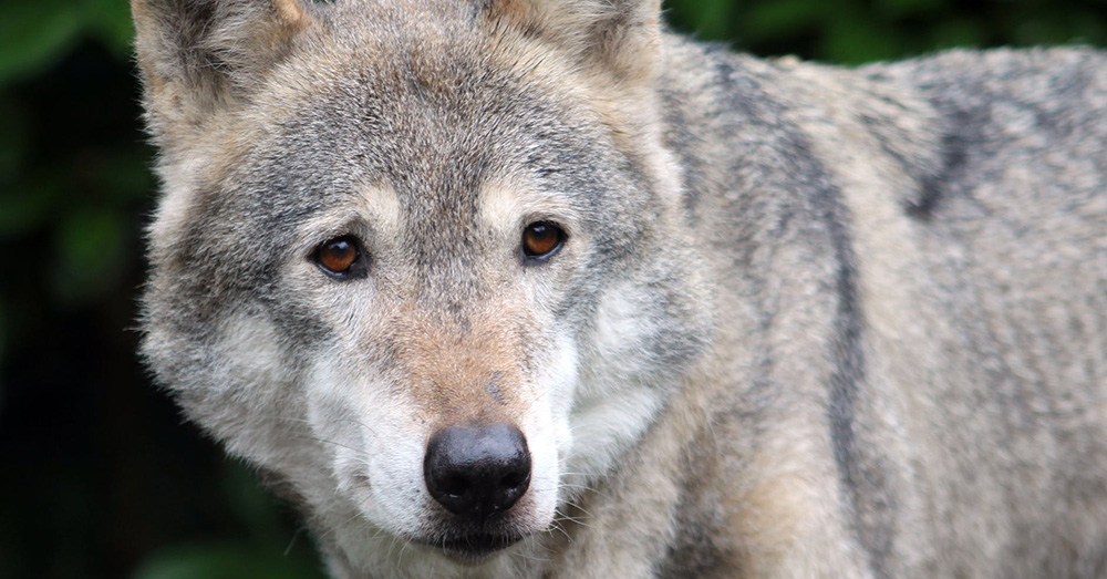 The gray wolves' return is a success story!
