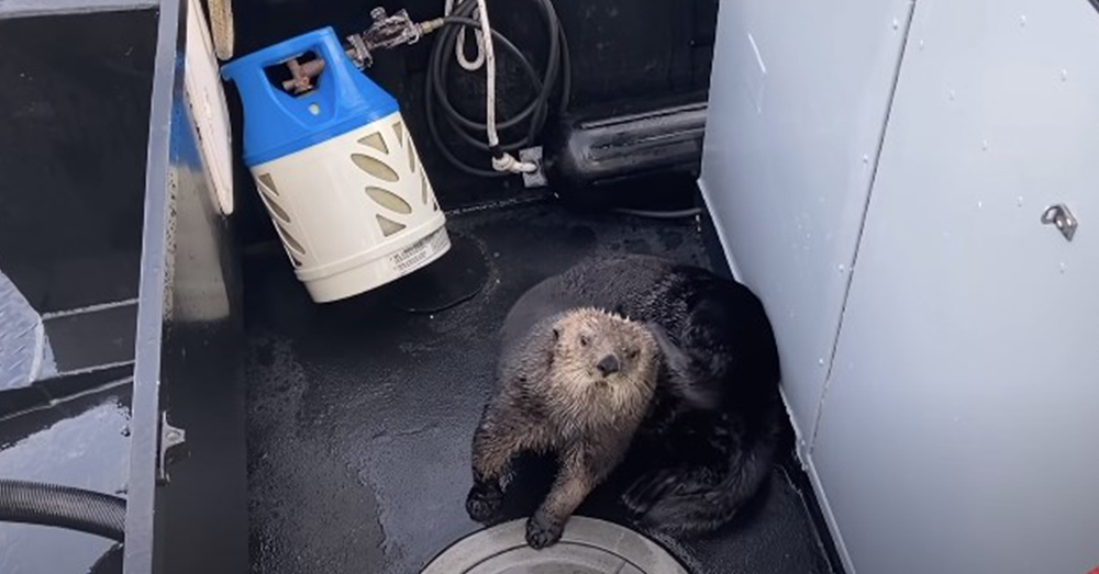 This otter feels much safer around the humans than it does the hungry Orca.