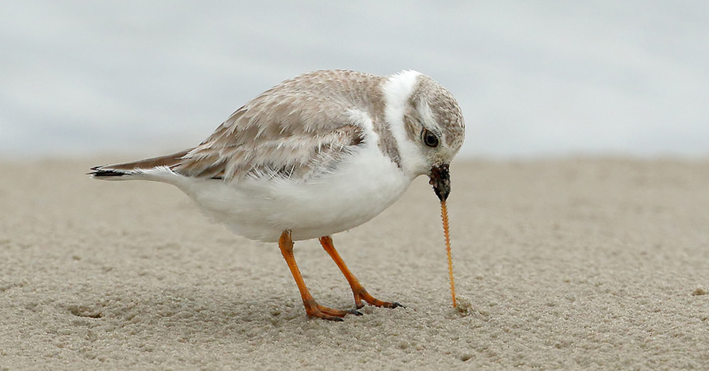 The Great Lakes piping plovers were perilously close to extinction.