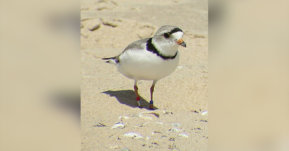 There may be hope for the Great Lakes piping plover yet.