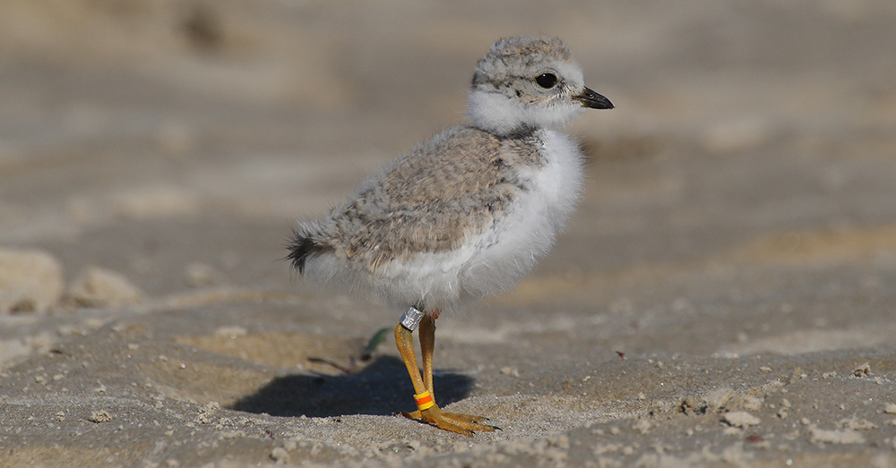 A Detroit Zoo program is helping these birds proliferate on Michigan coastlines.