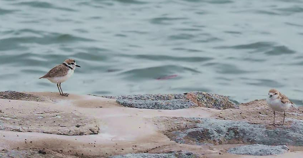 Here are now 64 pairs of Great Lakes piping plovers and 79 plover nests in the wild in Michigan.
