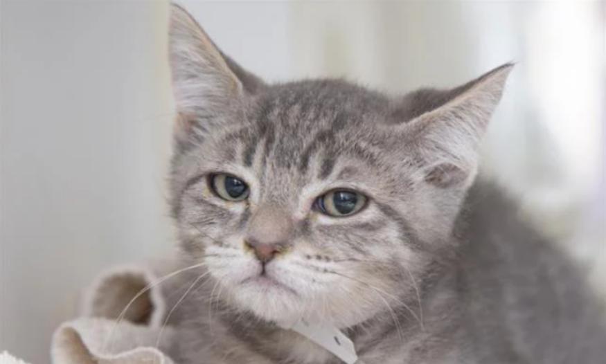 Meet 'Judgy Roger,' The Cranky Kitten Everyone Is Calling The Next 'Grumpy Cat'