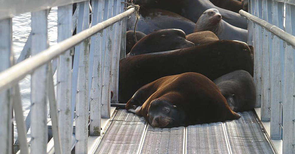 The sea lions are finding fish mush easier thanks to the dams humans have built.