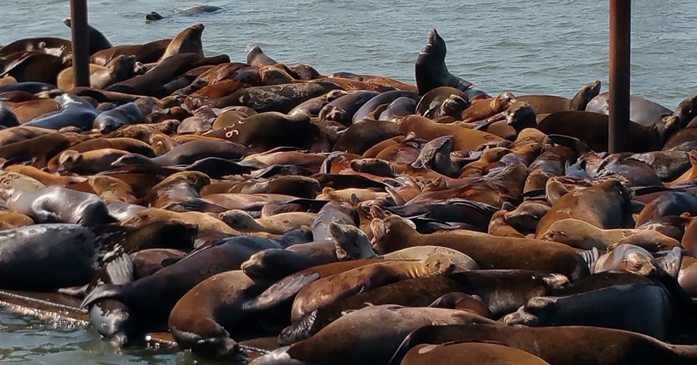 Sea lions will now be hunted along the Columbia River to protect the endangered fish.