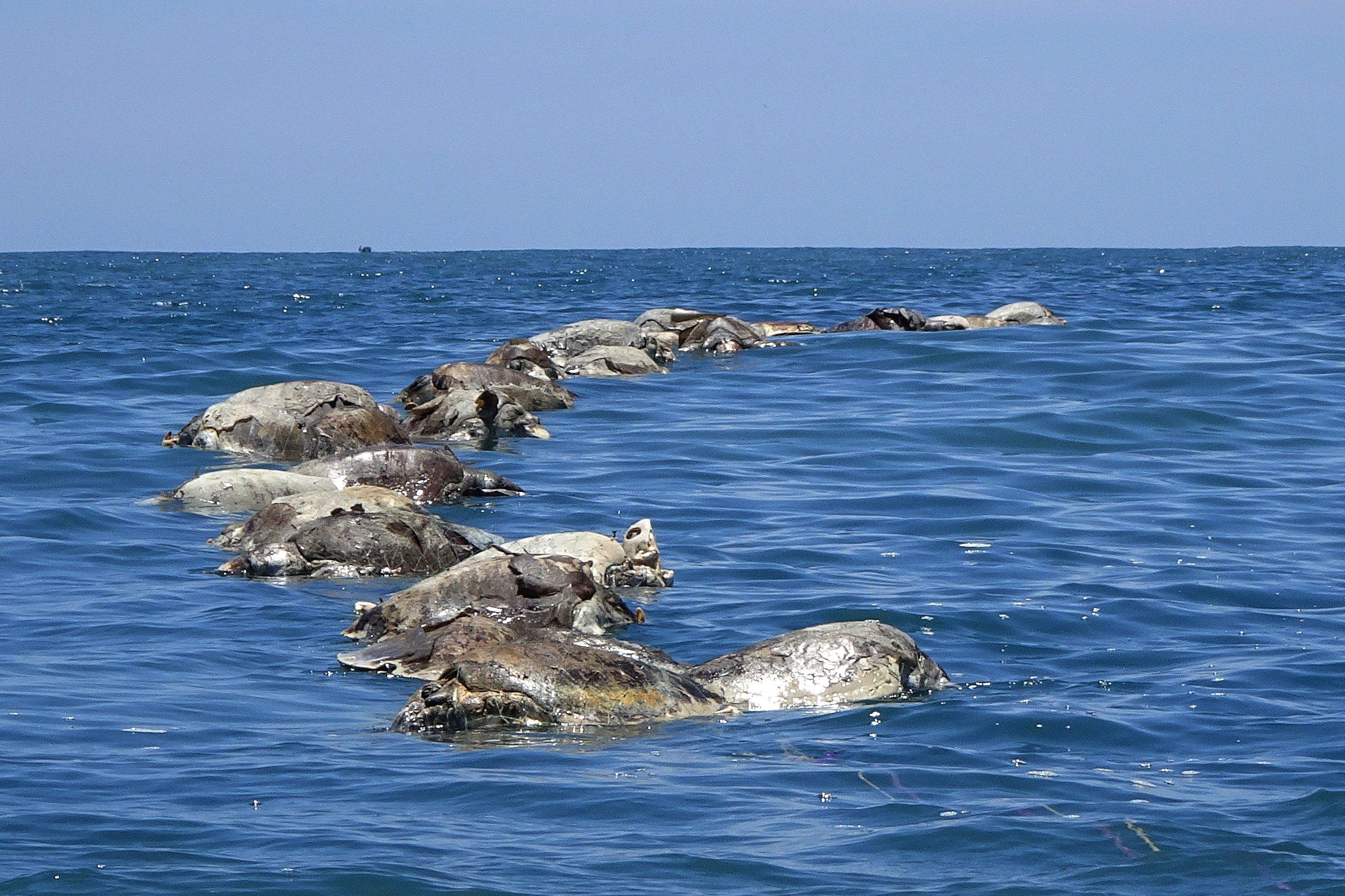 Over 350 Sea Turtles Died Off The Coast Of Baja California