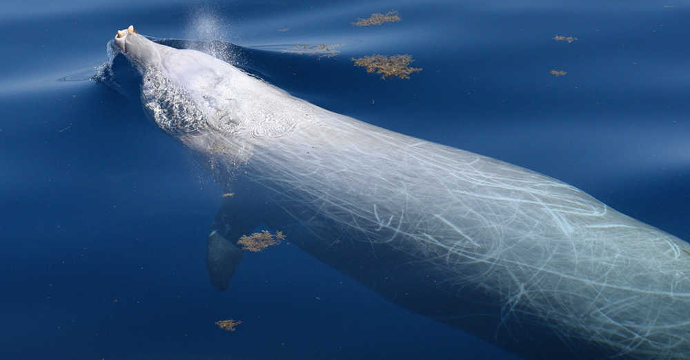 Cuvier's beaked whales can dive to depths of 3,000 meters.