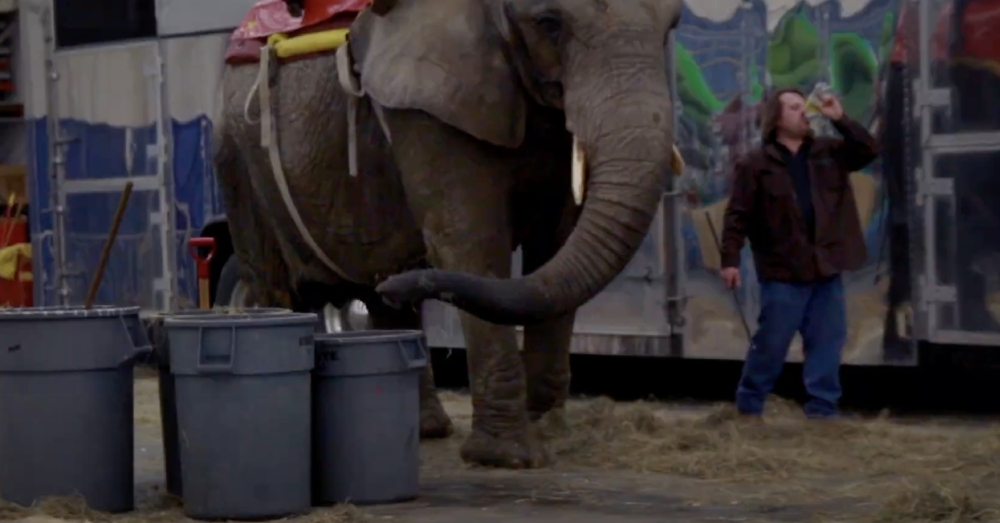A handler stands by a circus elephant brandishing a bullhook.