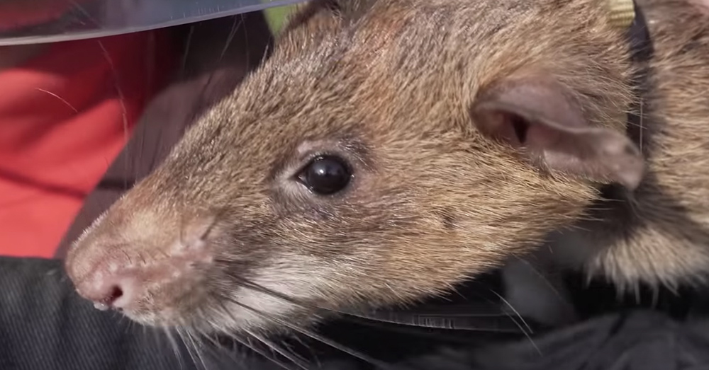 Magawa is a pouched rat, and a hero.