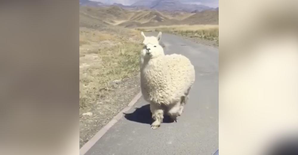 A friendly alpaca encounter on a mountain road.