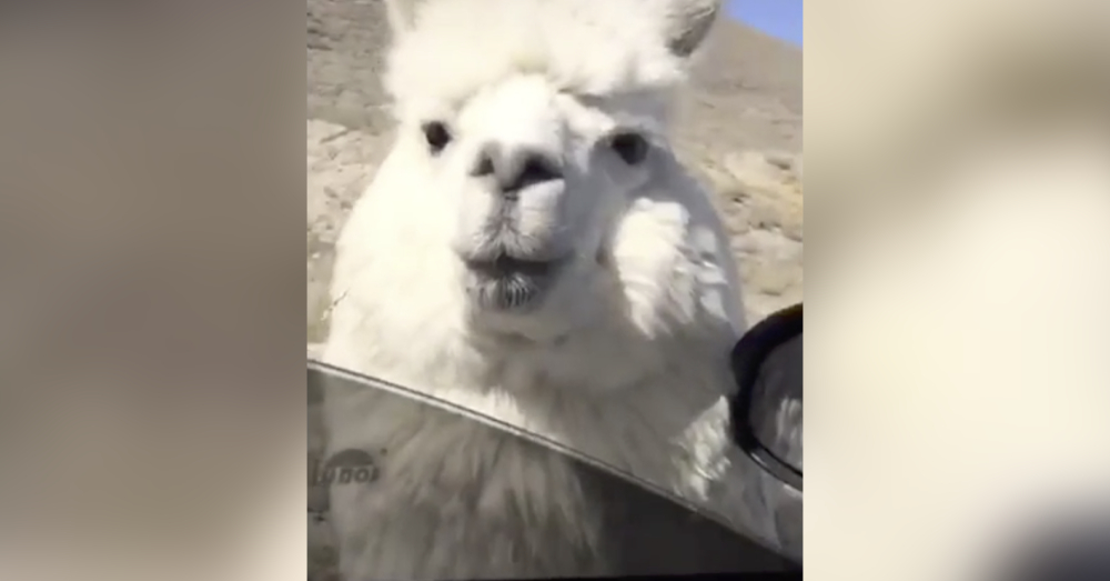 Just to be clear, this is not a llama. It's an alpaca.