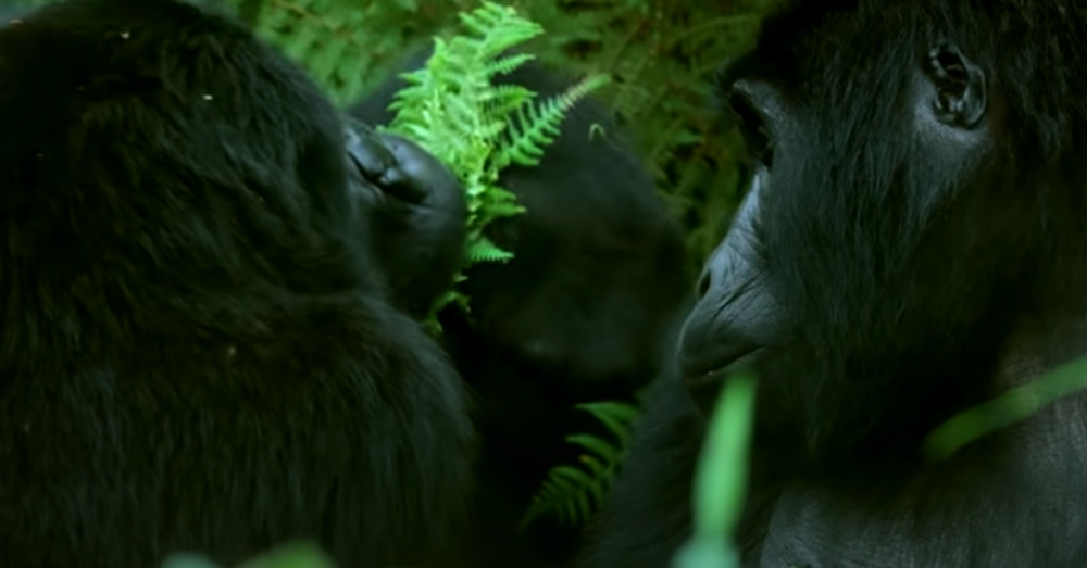 Wild mountain gorillas east about 40 pounds of food a day.