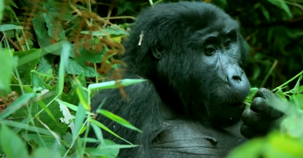 The recording captured the gorillas singing as they ate.