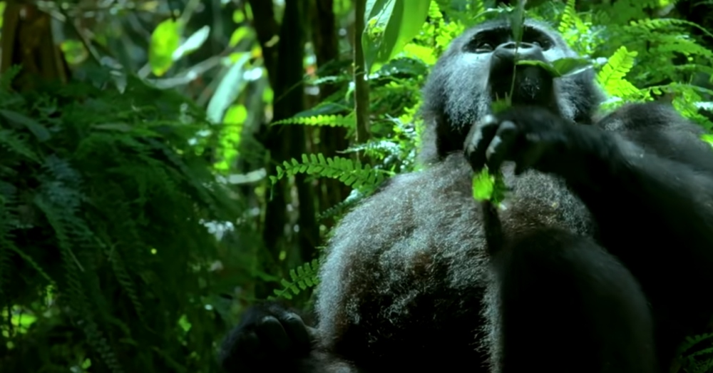 Spy in the Wild 2 captured video of Wild Mountain gorillas using a camera inside a robot.