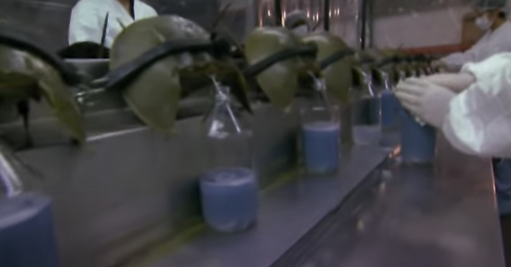 The crabs' blue blood is a critical component in testing medicines.