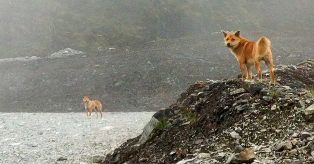 """Singing Dog"" Breed Thought To Be Extinct For 50 Years Discovered In New Guinea"