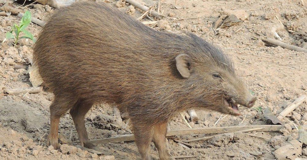 Pygmy hog.