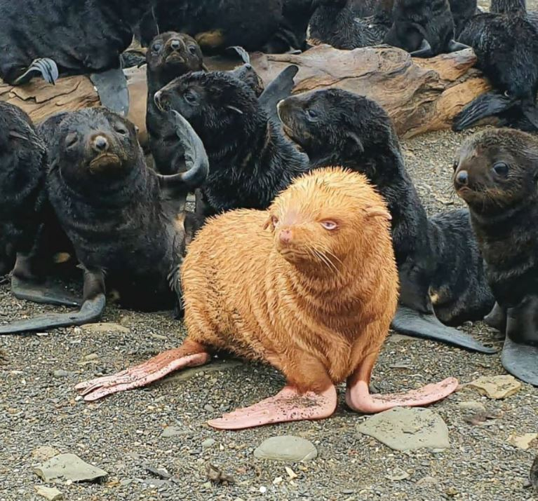 Rare Golden Seal Pup Is Shunned By Its Colony For Being Different