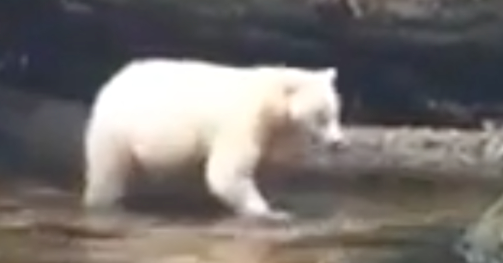 The bear is not albino, but rather a rare type of black bear with a recessive gene.