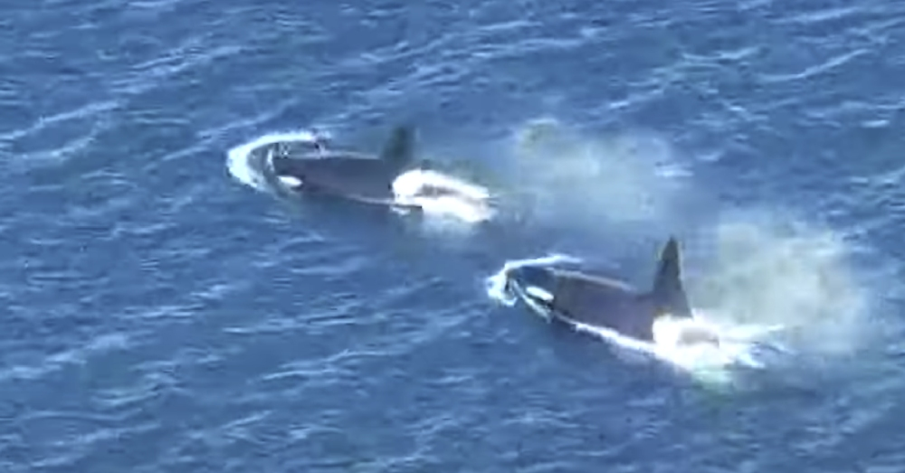 Southern resident killer whale Tahlequah has given birth to a new calf.