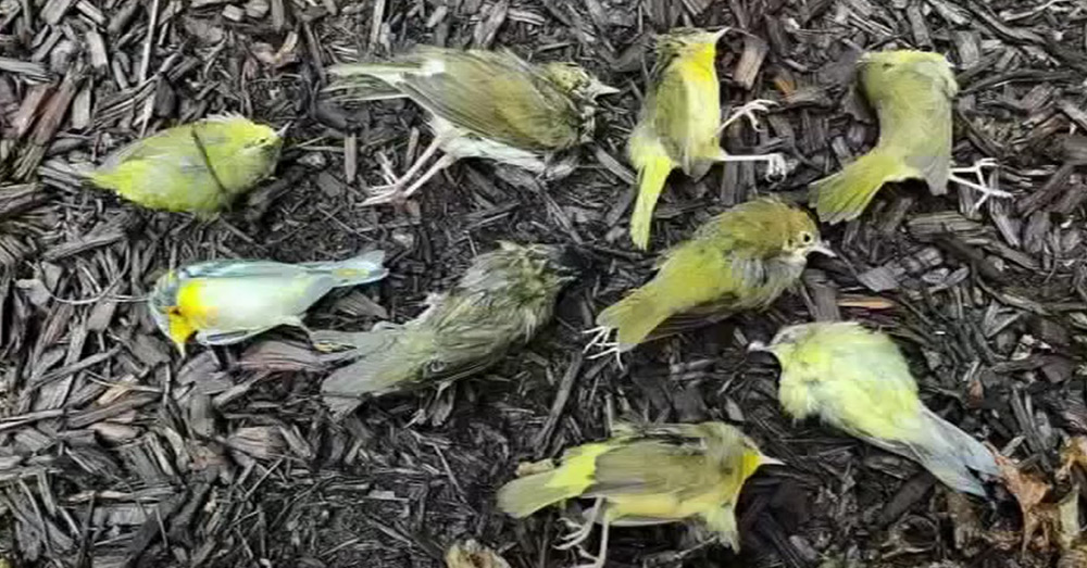 More than 1,000 birds flew into buildings in Philadelphia and died in early October.