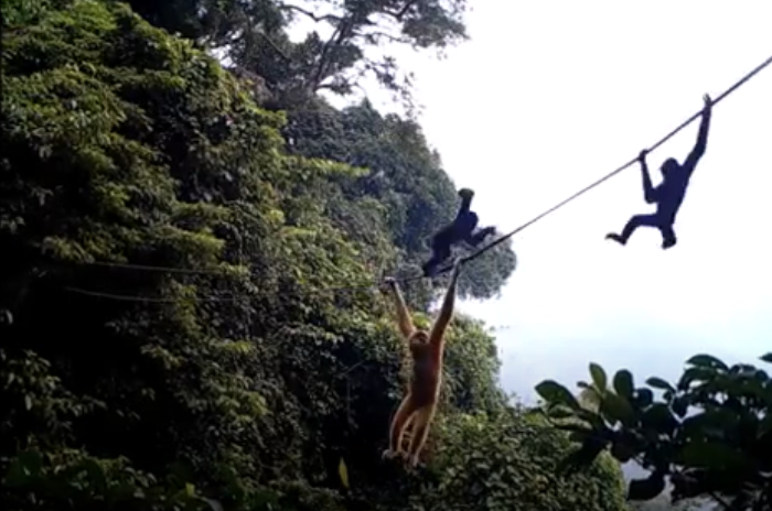 Rope Bridge May Be Able To Save The World's Rarest Primate From Extinction