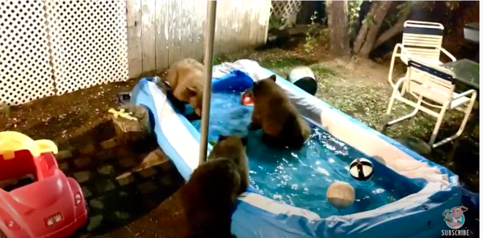 Family Gets Woken Up By A Family Of Bears Throwing A Pool Party In Their Back Yard