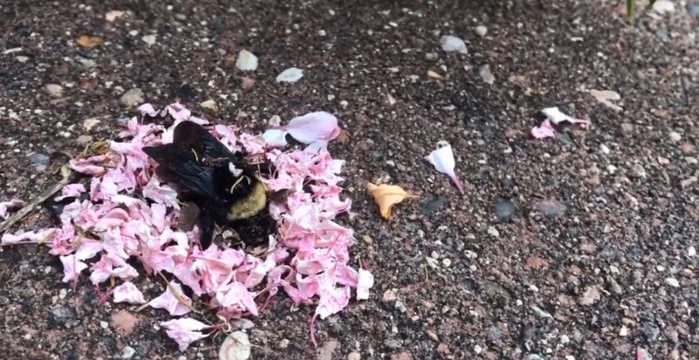 Is this truly a bumblebee funeral?