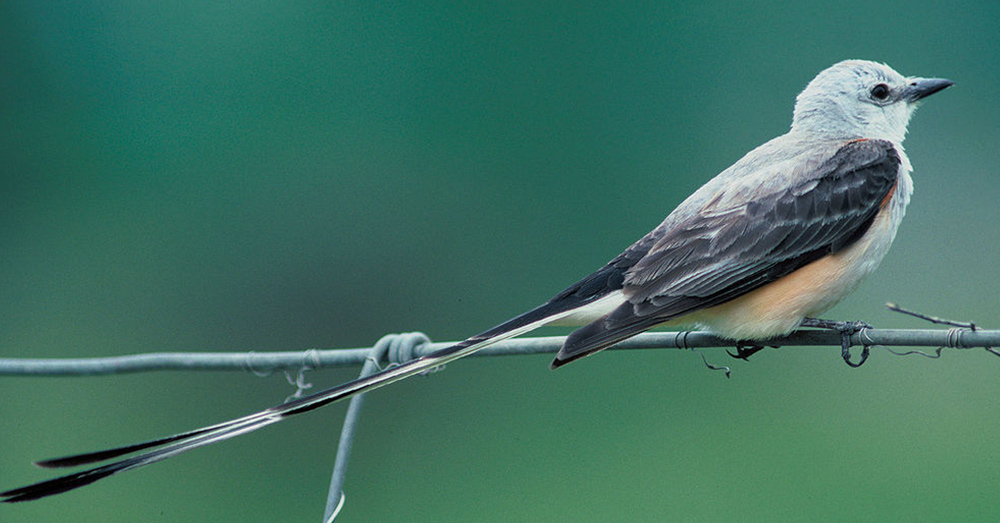 Oklahoma's state bird is the scissortail flycatcher, which could be driven to extinction if its main sources of food disappear.