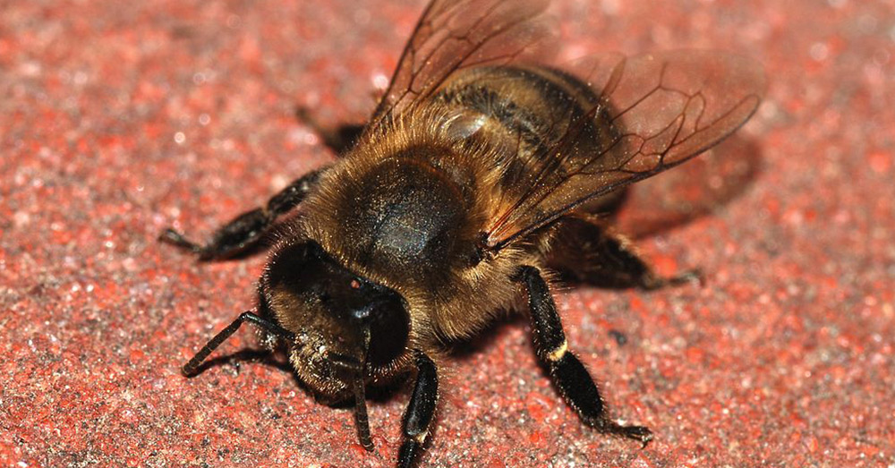 Oklahoma's state insect is the honeybee, which currently faces threats from unregulated pesticide use.