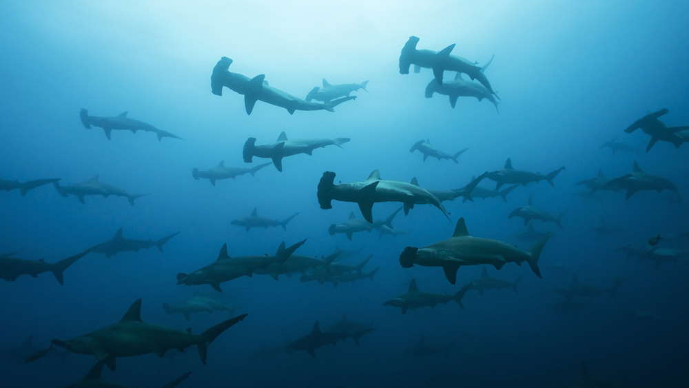 Hammerhead shark migrate through the waters around the Galápagos Islands.