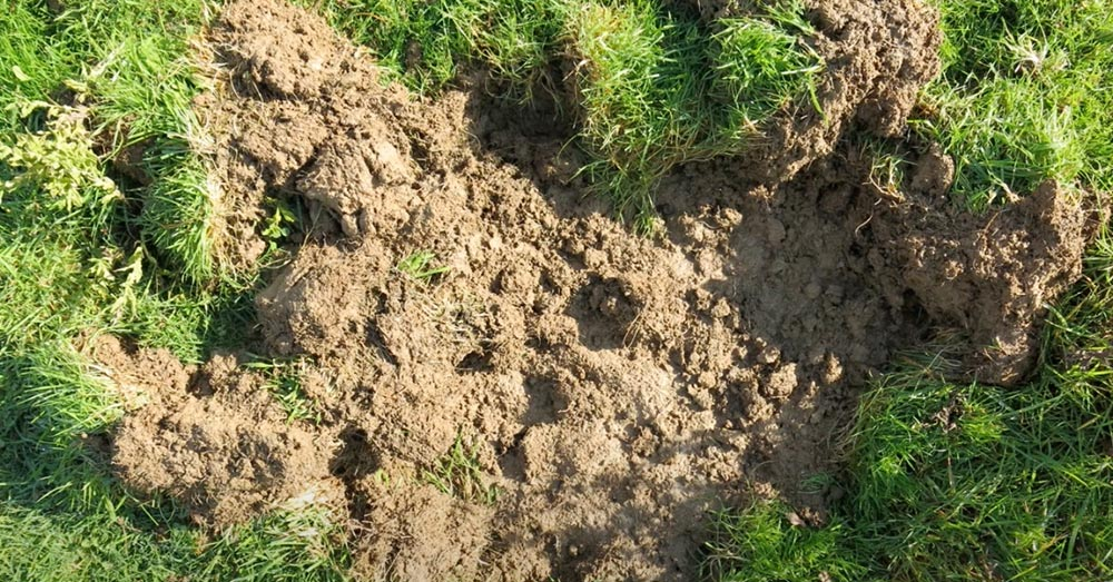 Tamworth pigs root in the mud, creating new biomes for insects.