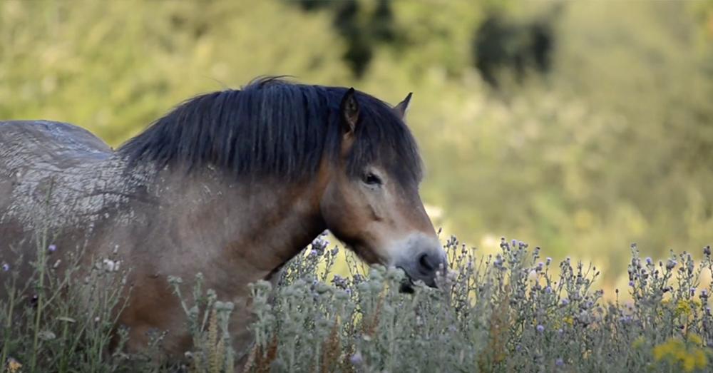 Exmoor ponies run wild at Knepp.