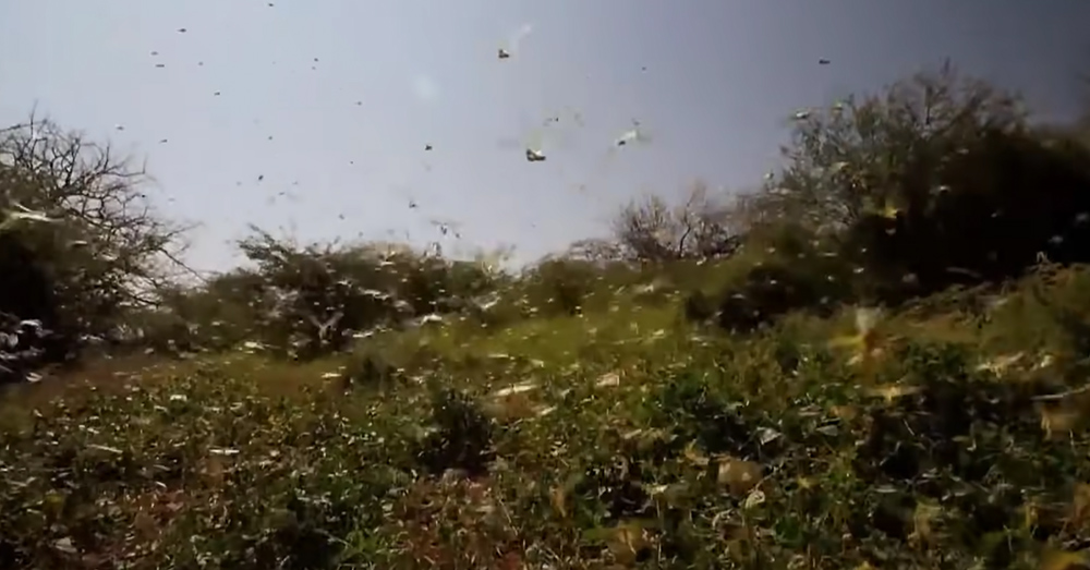 The ravenous bugs have destroyed nearly 500,000 acres of farmland in a week.