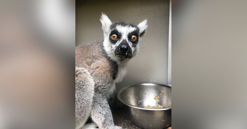 Thousands of ring tailed lemurs are sold each year in the illegal pet trade.