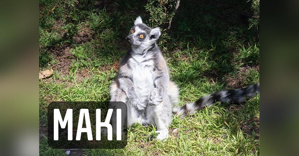 Maki is the San Francisco Zoo's oldest lemur.