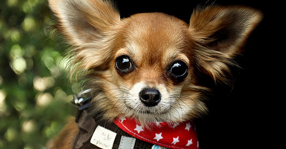 Shock collars can be especially harmful to smaller dogs.