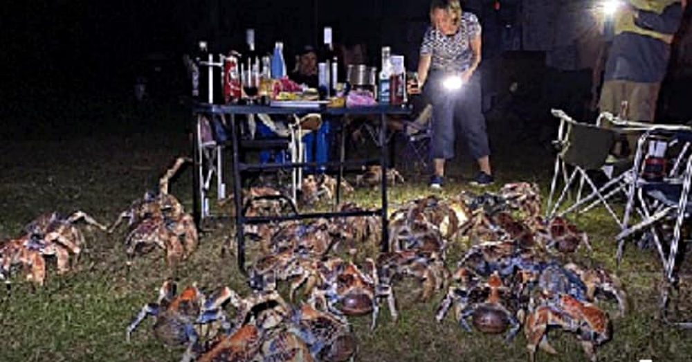 Family Shocked When Giant Robber Crabs Invade Their BBQ