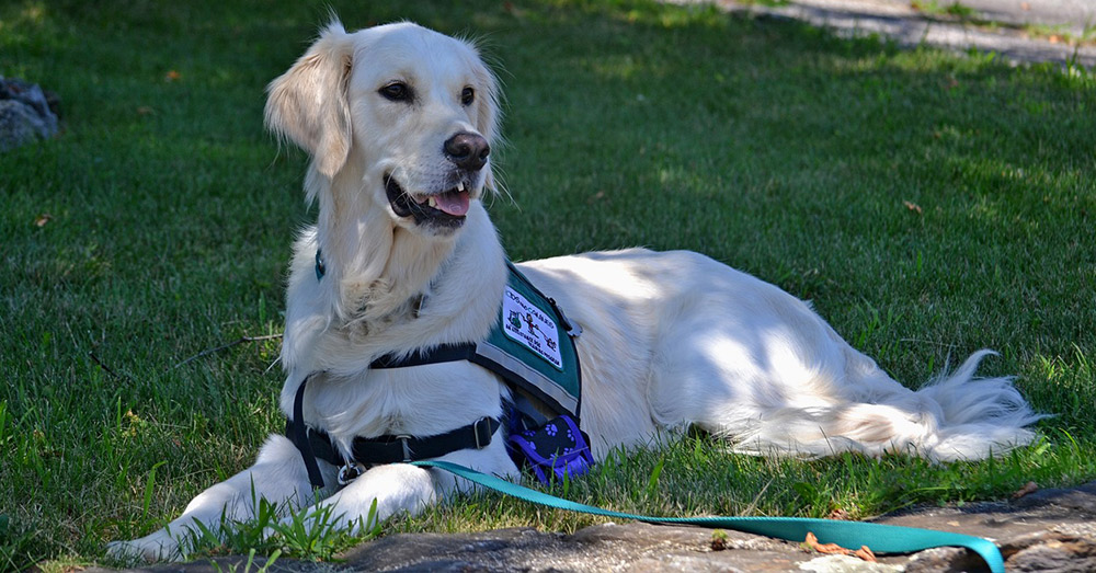 Some service dogs go through years of training before they are placed with their new handlers.