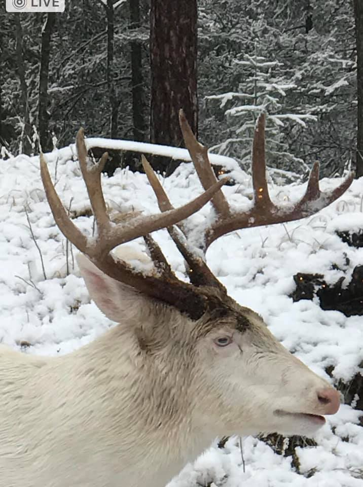 Woman Photographs Rare Pure-White Buck In Her Backyard