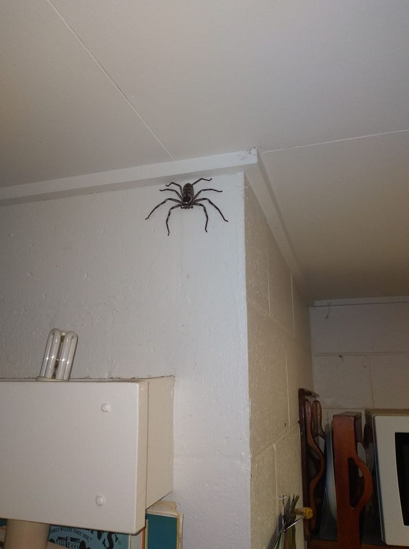 Man Lets A Spider The Size Of A Dinner Plate Live In His Home For A Year