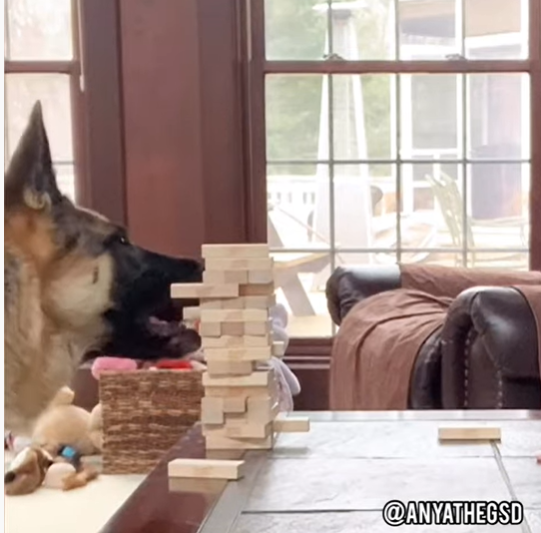 German Shepherd Plays Board Games With The Family During Lockdown