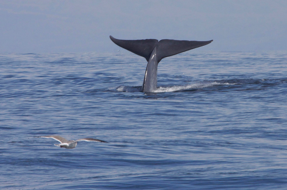 Between 1998 and 2018, scientists working in the southern Atlantic saw only one blue whale.