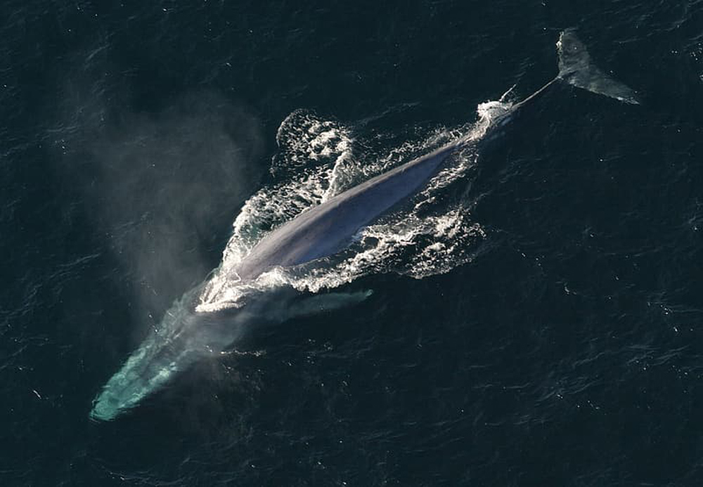 The blue whale is making a comeback.