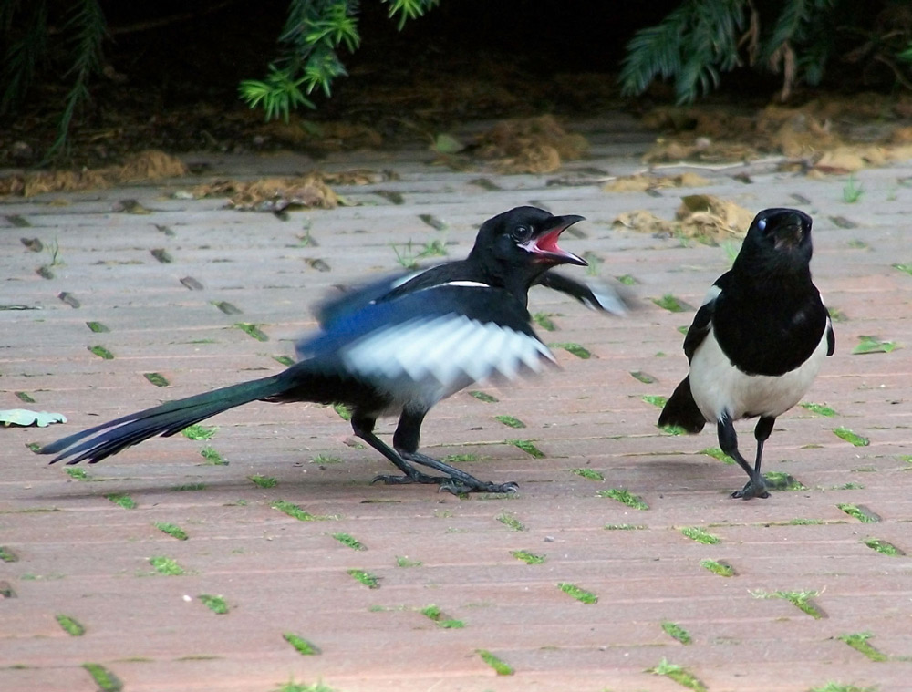 A Magpie chick begs its mother for food.