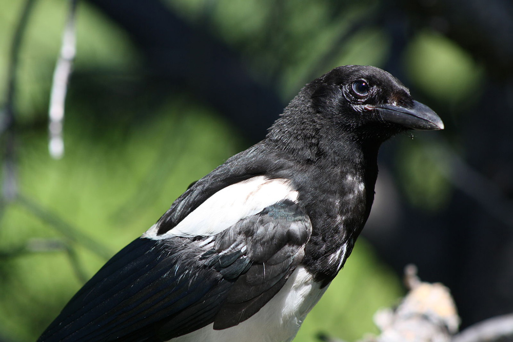 Magpies are incredibly intelligent.