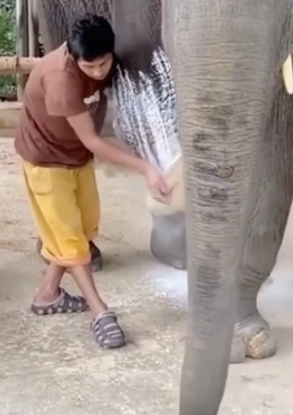 The elephant's leg is powdered to help slide on the prosthetic.