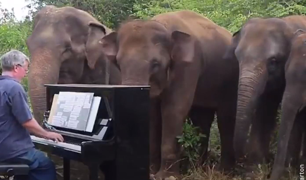 Musician Paul Barton plays the piano for elephants.