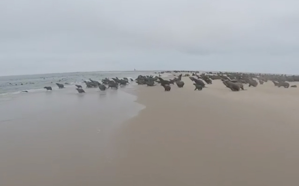 A colony of seals on the beach.