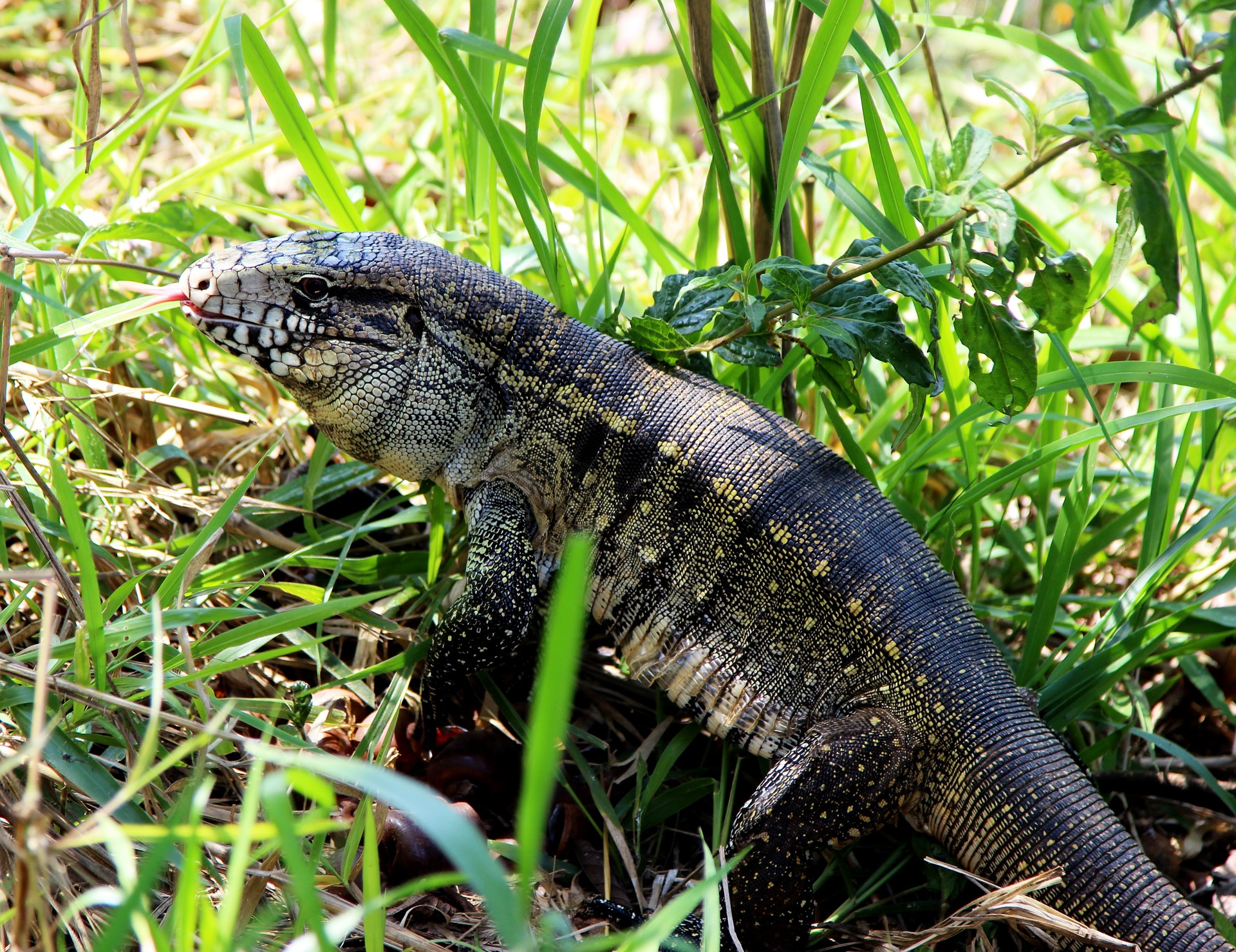 Large Invasive Lizards The Size Of Dogs Are Taking Over The Southeastern United States